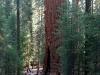 najwieksze-w-swojej-masie-drzewo-swiata-general-shermann